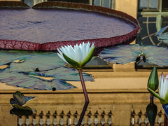 Longwood Gardens -28 (Webtraverser) Tags: gardens waterlily waterlilies longwoodgardens magichour sunsetting