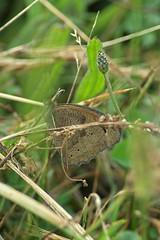 Escondida (bidueiro) Tags: naturaleza macro mariposa