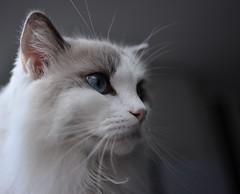 Snow de olho no peixe (Rafael Schaidhauer) Tags: cats animal de gato ragdoll gatinho estimação greatphotographers nikonflickraward
