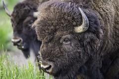 Bison, Grand Teton National Park (HDRob) Tags: bison buffalo grandtetonnationalpark grandtetons wildlife
