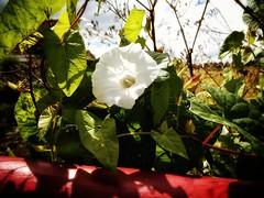 White flower (J.C. Moyer) Tags: bridge greenleaves flower color colour nature field leaves sunshine whiteflower flora bluesky redbridge