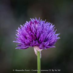 Flowers (Alex - Born To Be Free) Tags: flower fior fiore fiorellino flowers pink green macro stilllife closeup closeups alessandro forni viaggioperimmagini vpi