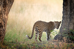 a last glance before leaving the scene (Jose Antonio Pascoalinho) Tags: africa botswana okavango moremi leopard animal feline predator nature bigfive bigcat wildlife wild wilderness bornfree bornwild nat outdoor zedith