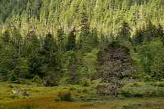 'Forest, Meadow, and Marsh' (Canadapt) Tags: forest trees mountain meadow marsh pine cedar diana lake bc canadapt