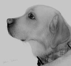 Yellow Lab (Artist Victoria Watson) Tags: dog dogart yellowlab dogportrait pencilportriat drawing handrenderedart art blackandwhite monochrome pencildrawing dogdrawing animal animalart thegalaxy petportrait petart whitebackground