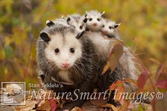 Virginia Opossum mother and babies Tekiela IE6S2952 (Stan Tekiela's Nature Smart Wildlife Images) Tags: mammals vertebrates vertibrate mammalia fur hair terrestrial land animal minnesota unitedstatesofamerica usa naturesmartwildlifewordsandimages stantekiela copyright allrightsreservered stockimage professionalphotographer images wildlife animals nature naturalist wild stockphotos digitalimages critter undercontroledcondtions virginiaopossumdidelphisvirginiana animalia claws creatures critters mammae motherandbabies placentals