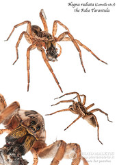 Hogna radiata collage (Tonci.M ) Tags: hognaradiata thefalsetarantula wolfspider lycosidae whitebackground stilllife collage wildlife spiders arachnids arthropoda nature