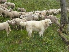 P1040801 (Franois Magne) Tags: wild camp dog mountain color nature montagne landscape wolf conservation hund loup protection mouton hunt chiens berger sauvage pyrenes transhumance troupeau patou ferus molosse pastoralisme patous pastoraloup