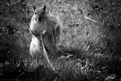 """Squirrel about to """"get medieval""""... (brad connolly) Tags: blackandwhite bw grass contrast squirrel shadows attack highlights medieval stick getmedieval"""