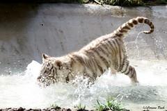 Bb tigre blanc_le premier bain /