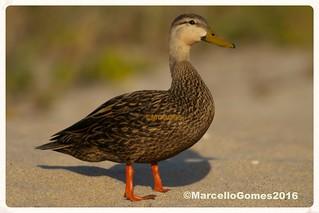 Mottled Duck (Anas fulvigula) MODU -