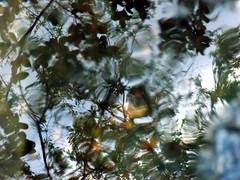 Rainwater (andrea.nelms) Tags: california pink flower reflection tree water pool leaves rain yellow nikon day purple fresh clean reflect rainy fresno coolpix raining cleanse l330