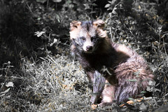 Racoon dog (Cloudtail the Snow Leopard) Tags: dog animal mammal bad tanuki racoon tier wildpark mergentheim sugetier nyctereutes procyonoides marderhund