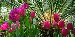 Smith College 2015 Spring Bulb Show (foroyar22) Tags: flowers usa color ma northampton massachusetts botanicgarden claudemonet smithcollege 2015 frenchimpressionism springbulbshow givernyfrance charleskellogg charlesgkellogg charliekellogg copyright2015