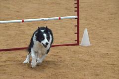 agility251 (jaimekay16) Tags: dog training austin agility k9 xpress nadac k9x