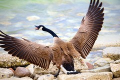 Warning!!    ...EXPLORED on April 3, 2015...  Thank You! (imageClear) Tags: bird nature water wisconsin warning wings aperture nikon rocks flickr wildlife feathers goose lakemichigan sheboygan defensive canadagoose photostream 80400mm d600 wingspread imageclear