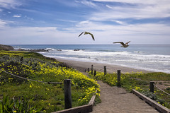 Cambria Gulls (Ruroni Poru) Tags: ocean california flowers sky seagulls beach birds clouds coast fuji path cambria xt1