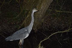 Heron (Joseph.Monk.Photography) Tags: lake heron nature night reflecting nikon wildlife reflective ricky rickmansworth nikond3200 aquadrome
