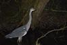 Heron (Joseph.Monk.Photography) Tags: lake heron nature night reflecting nikon wildlife reflective ricky rickmansworth nikond3200 aquadrome