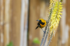 Hooded Oriole (male) (christopheradler) Tags: california hoodedoriole icteruscucullatus