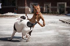 Adele (iwylie) Tags: dog happydog pitmix pitbullmix