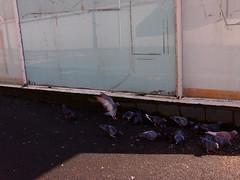 P3290279 (wigeon22) Tags: street urban english photography seaside pigeon north olympus panasonic 17 20mm epl3