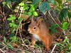 Red Squirrel(Peek a Boo)