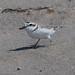 IMG_8705.jpg Snowy Plover, Pajaro Dunes