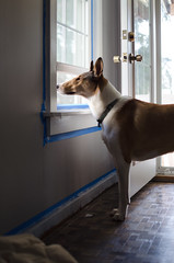 (kecotting) Tags: door dog pets house window animals moving nikon collie paint naturallight littledoglaughedstories