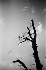 (le d u m) Tags: trees sky blackandwhite film monochrome contrast analog ikebana branches slide oldschool chrome bonsai