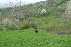 keresgélő kopó / searching dog (debreczeniemoke) Tags: dog spring meadow kutya tavasz frakk rét transylvanianhound erdélyikopó canonpowershotsx20is transylvanianbloodhound