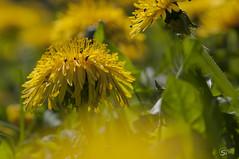 Lwenzahn (sirona27) Tags: wiese mai gelb grn sonne insekten frhling nektar blten lwenzahn