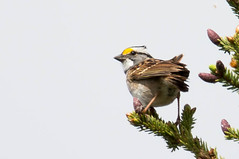 IMG_6760-97.jpg (David A Mitchell) Tags: whitethroatedsparrow