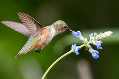 Allen's Hummingbird (605_5651-1) (Best Practices) Tags: hummingbird bestpractices allenshummingbird