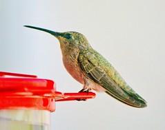 PLAY IT AGAIN SAM (Irene2727) Tags: red green bird nature yellow hummingbird beak feeder hummer avian