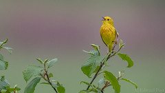 Yellow Warbler (Dendroica petechia) (ER Post) Tags: bird us unitedstates michigan warbler grandhaven yellowwarblerdendroicapetechia