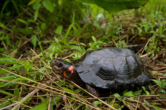 Glyptemys muhlenbergii (Kevin Stohlgren) Tags: turtle sony sigma maryland wideangle species endangered 1020mm bog rare a77 clemmys threatened endangeredspeciesact federallythreatened glyptemys muhlenbergii