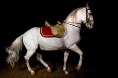 Lipizzan Piaffe (jeff_a_goldberg) Tags: horse us illinois unitedstates equestrian dressage lipizzan piaffe oldmillcreek lipizzans lipizzanstallion thetempellippzans