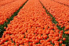 bollenveld (Astrid1949) Tags: oranje lisse bollenveld