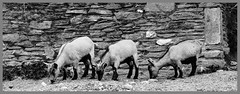 New Wall.... Just Kidding (Andy Gant) Tags: blackandwhite bw wall kids stonework structure goats bwphotography nww bweffect bwimages wallwednesday bwimagesfromaroundtheworld