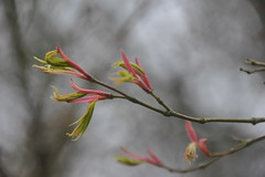 Acer Palmatum 'Nishikigawa' (Pattern Interrupt) Tags: spring maple japanesemaple acer  oxfordshire palmatum    nishikigawa batsfordaboretum visitbatsford