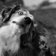 137/366 - Itch & Scratch (sdgiere) Tags: blackandwhite dog square canine aussie australianshepherd scratch itch