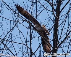 16A_0501 AE Osprey - Balbuzard pcheur (Paul Lev) Tags: canada quebec gatineau birds ospreybalbuzardpcheur