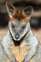 Wallaby (iansand) Tags: zoo wallaby tarongazoo