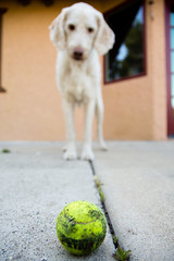 More Fetch (Jim Van Cura) Tags: dog ball labradoodle fetch whitedog