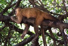 Macaco prego (Sapajus apella) (felipe sahd) Tags: brasil maranho macacoprego mandacaru primata riopreguias sapajusapella