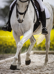 Nr. 42 (malinahr) Tags: horse color nature animal sport skne outdoor natur sterlen djur hst tvling skillinge