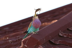 birdlife at work... (monika.carrie) Tags: bird birds wildlife botswana lilacbreastedroller monikacarrie
