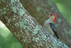 Red-bellied woodpecker (Melanerpes carolinus) DSC_0095 (blthornburgh) Tags: nature garden tampa backyard woodpecker florida outdoor redbelliedwoodpecker redbellied melanerpescarolinus thornburgh