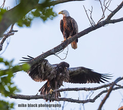 Juvenile Bald Eagle and parent (Mike Black photography) Tags: new blue sky white black bird mike nature june canon river lens shark is big day eagle body year birding bald nj atlantic shore jersey l usm juvenile fathers f40 2016 juvie 600mm 5ds